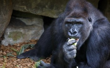 Animal - Gorilla Wallpapers and Backgrounds ID : 297756