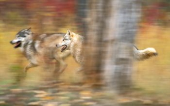 Dierenrijk - Wolf Wallpapers and Backgrounds ID : 36498