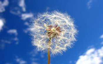 Earth - Dandelion Wallpapers and Backgrounds ID : 37128