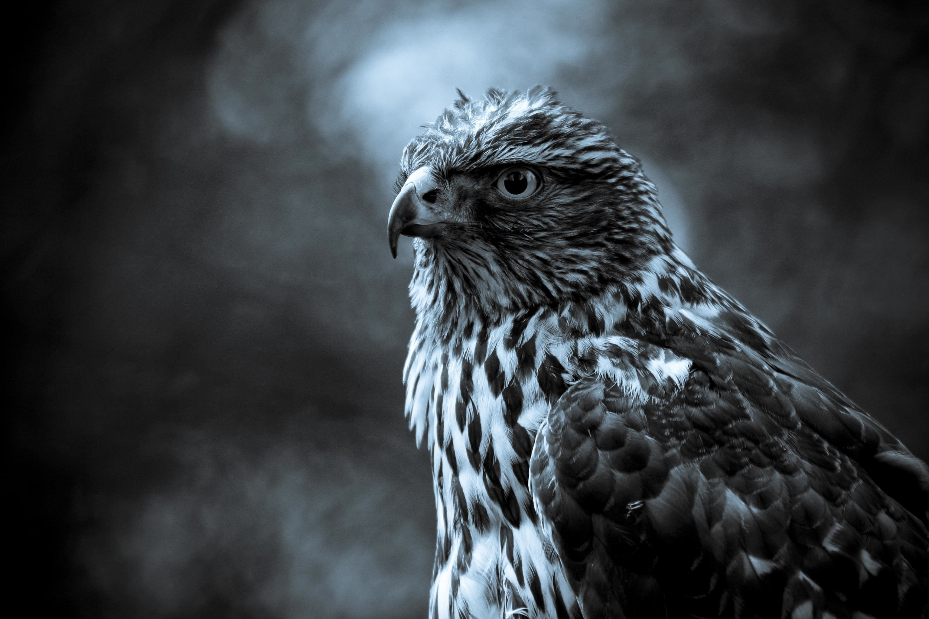 103 hawk hd wallpapers | background images - wallpaper abyss