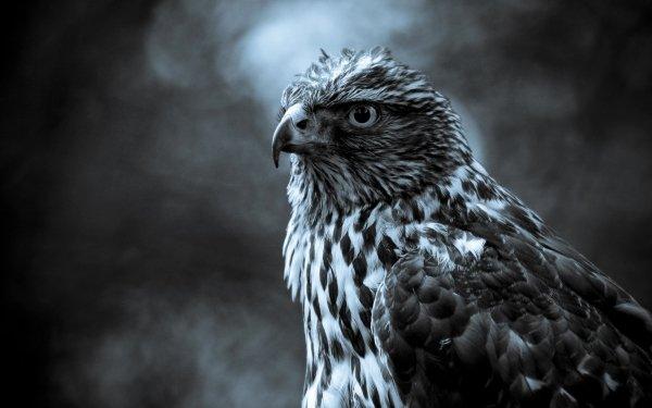 Animal Falcon Birds Birds of prey Bird HD Wallpaper | Background Image