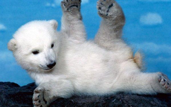 Animal Polar Bear Bears HD Wallpaper | Background Image