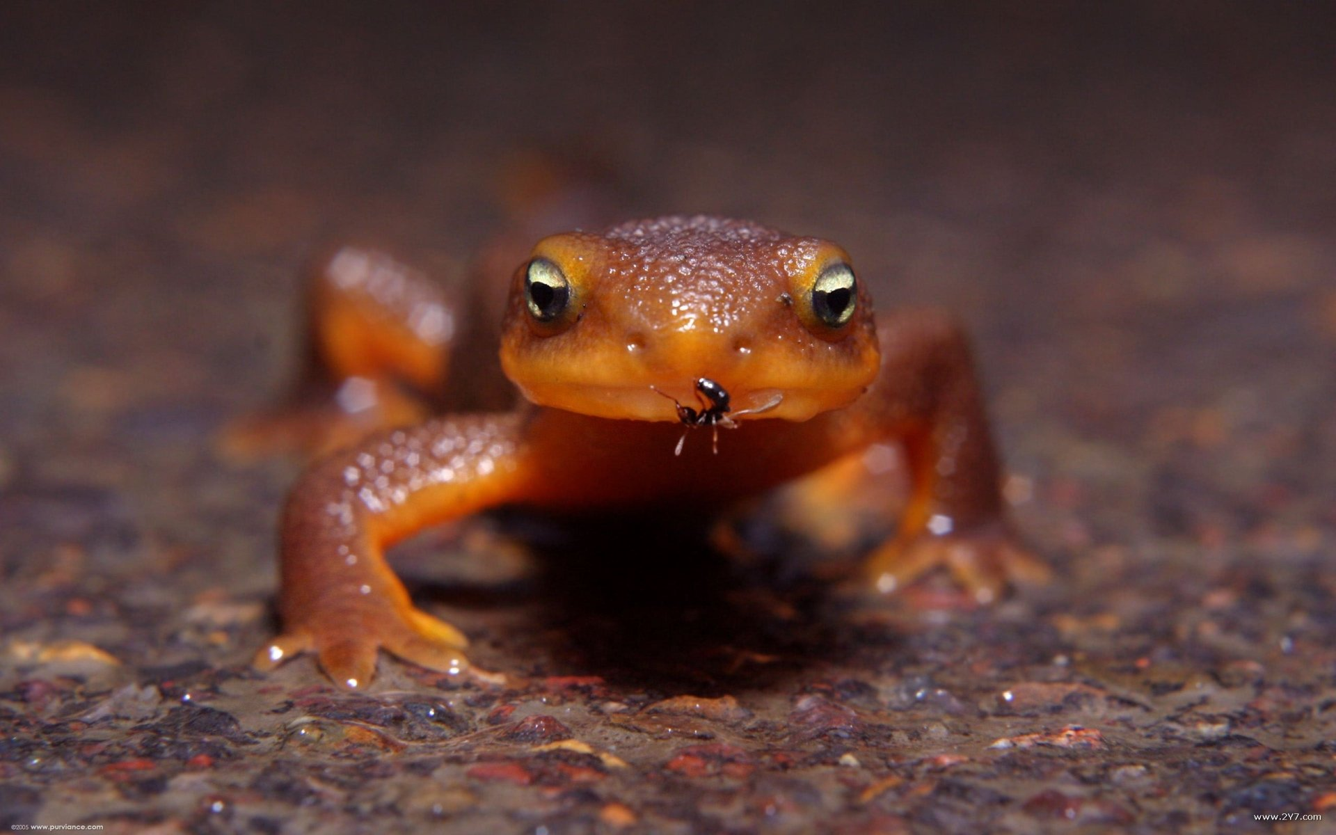 Animal - Newt  Wallpaper