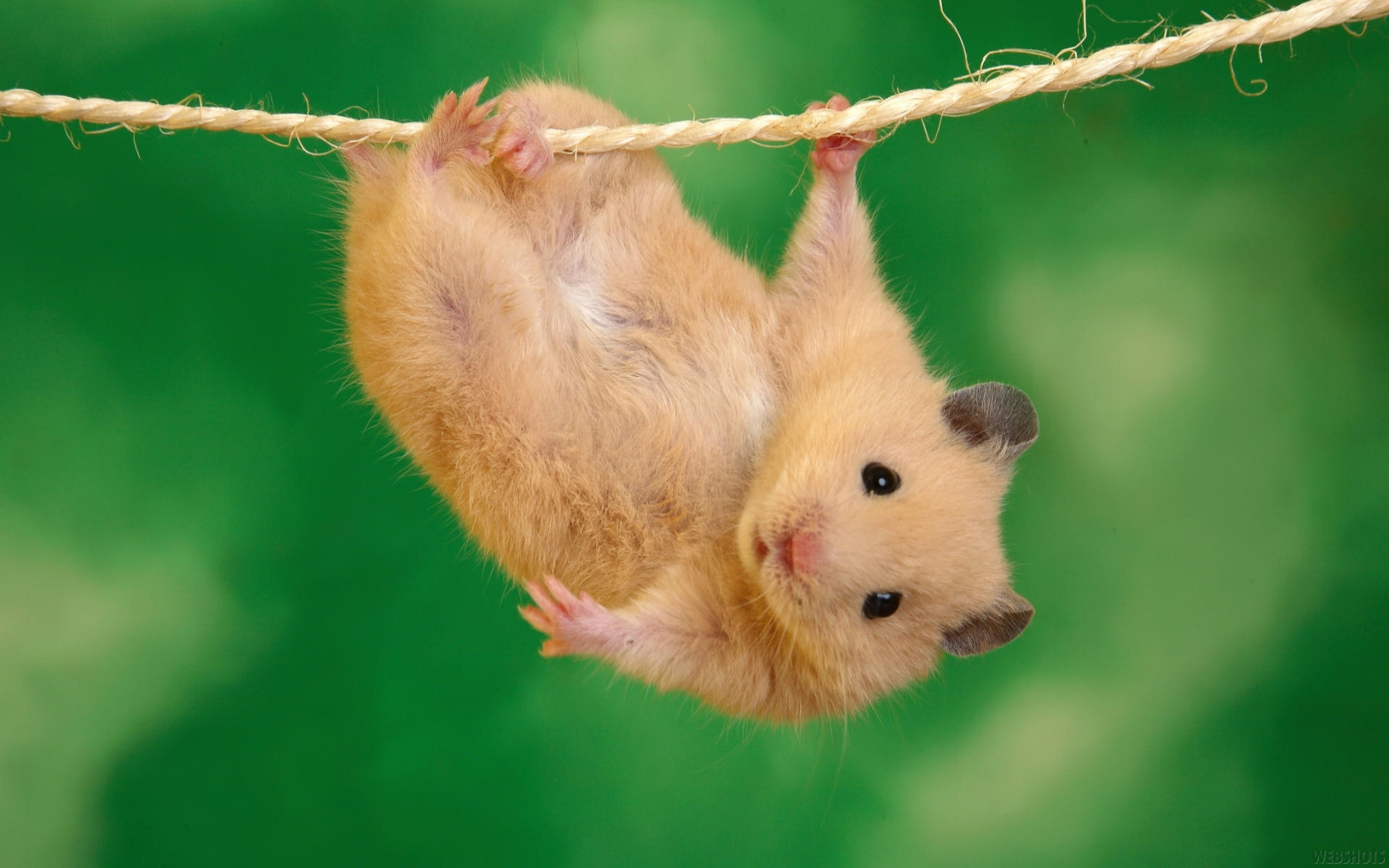 Animal - Hamster Wallpaper