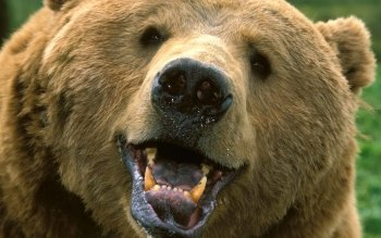 Animal - Bear Wallpapers and Backgrounds ID : 53514