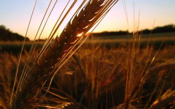 Earth - Wheat Wallpapers and Backgrounds ID : 55628