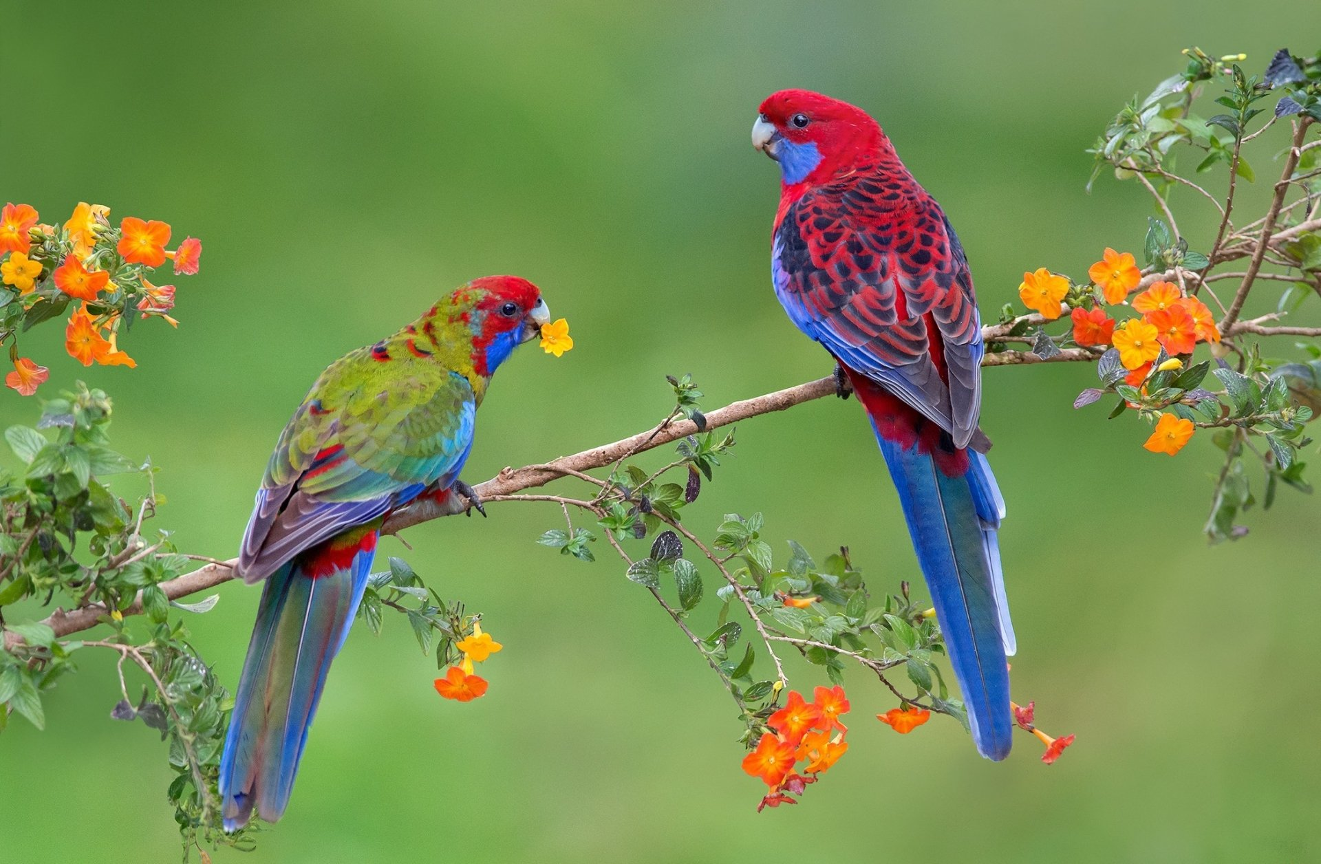Animal - Rosella  Blossom Parrot Couple Love Courtesy Spring Crimson Rosella Wallpaper