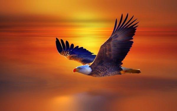 Animal Bald Eagle Birds Eagles Eagle Flight Sunset HD Wallpaper | Background Image