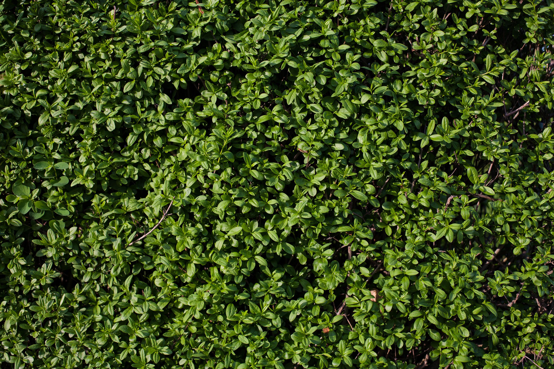 Privet Hedge Texture Hd Wallpaper Background Image