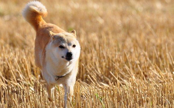 Animal Shiba Inu Dogs HD Wallpaper   Background Image