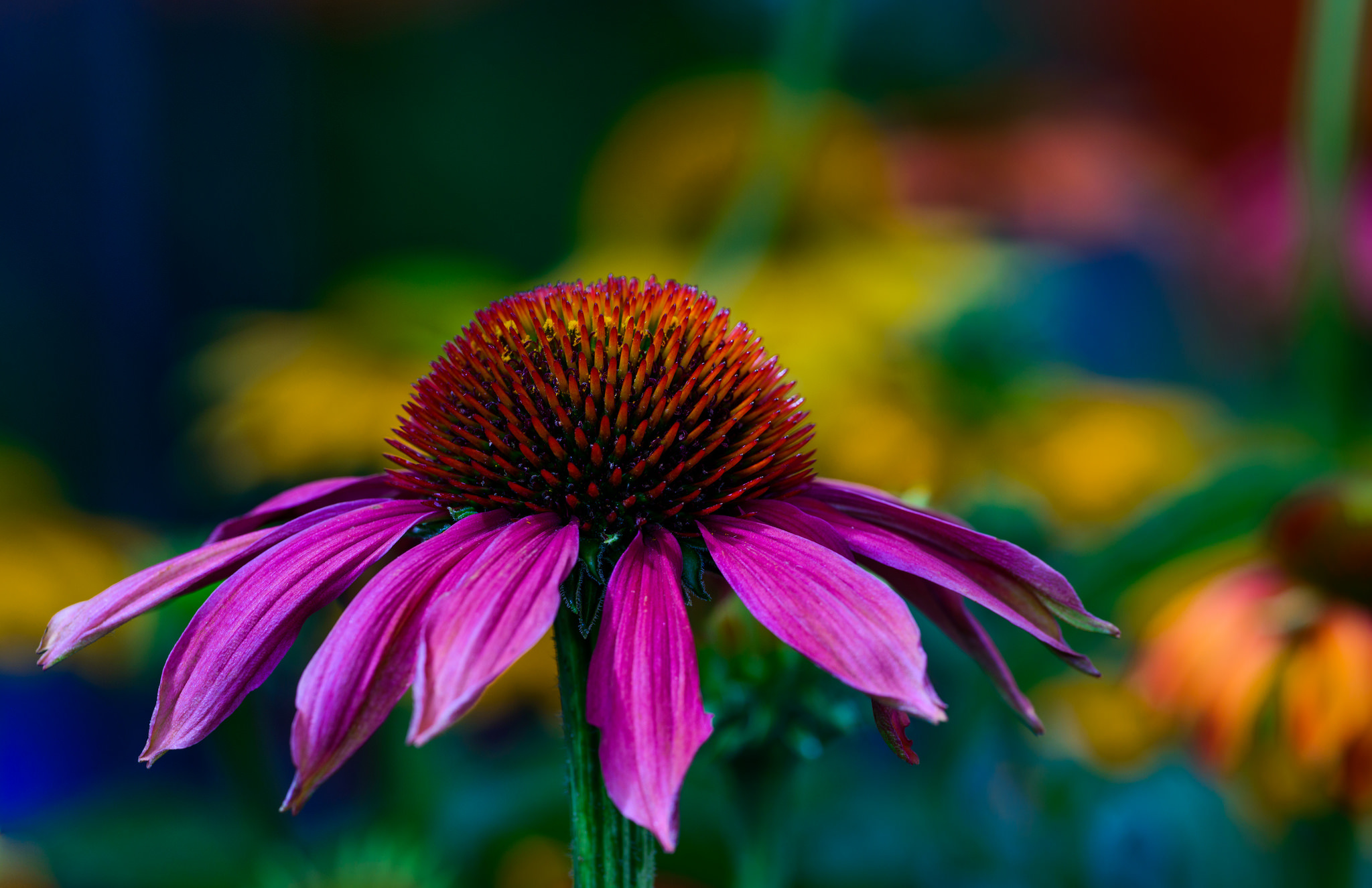 9 Echinacea Hd Wallpapers Background Images Wallpaper