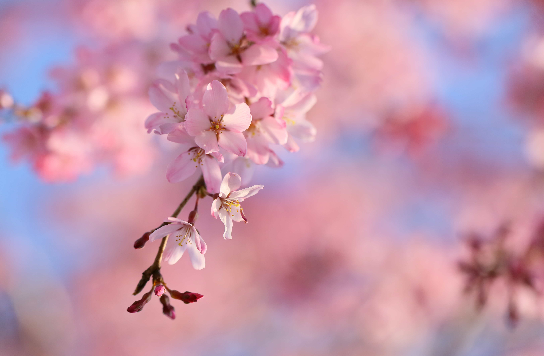 279 cherry blossom hd wallpapers background images - Sakura desktop ...