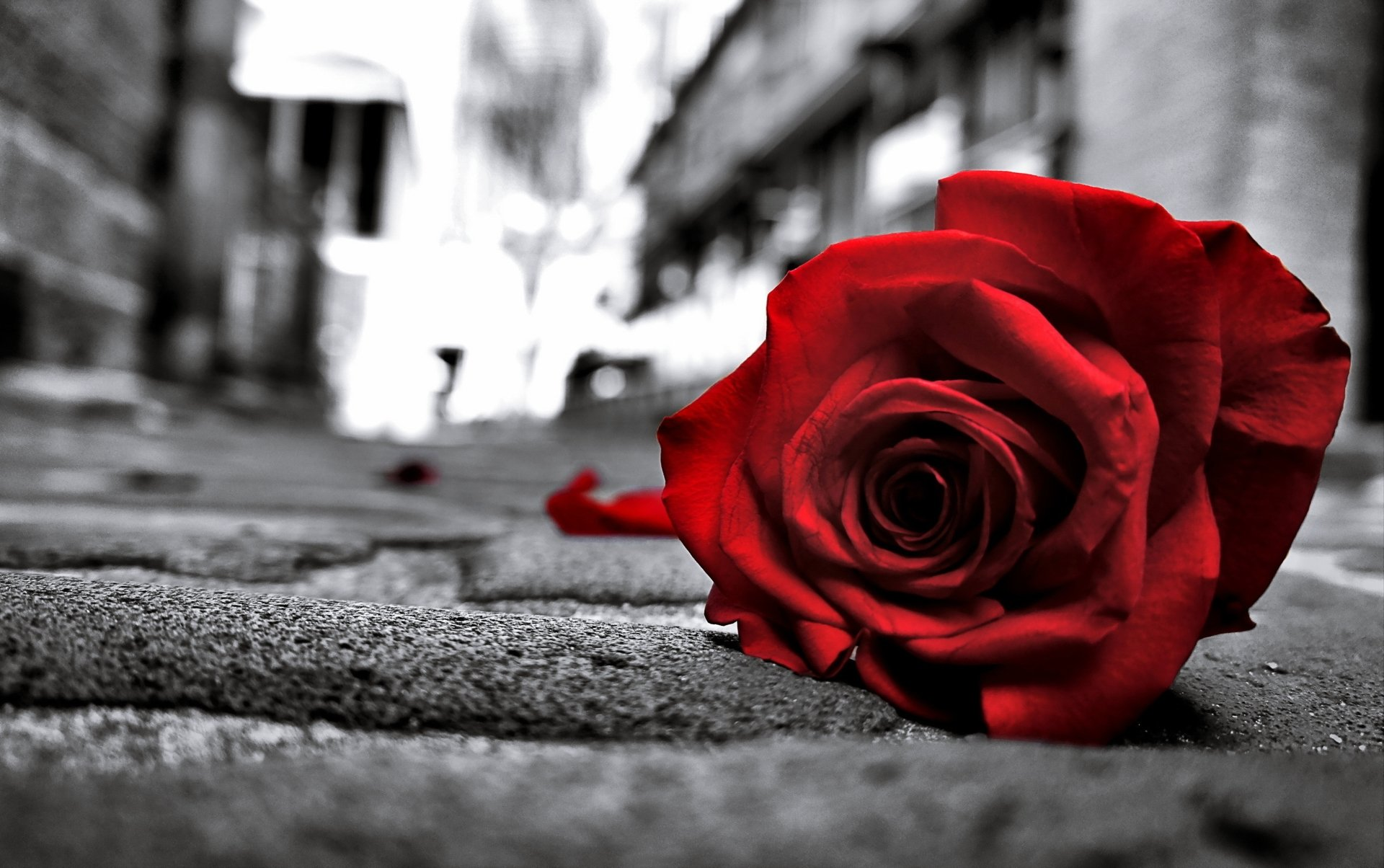 Sad rose 4k ultra hd wallpaper and background image - Sad man hd wallpaper ...