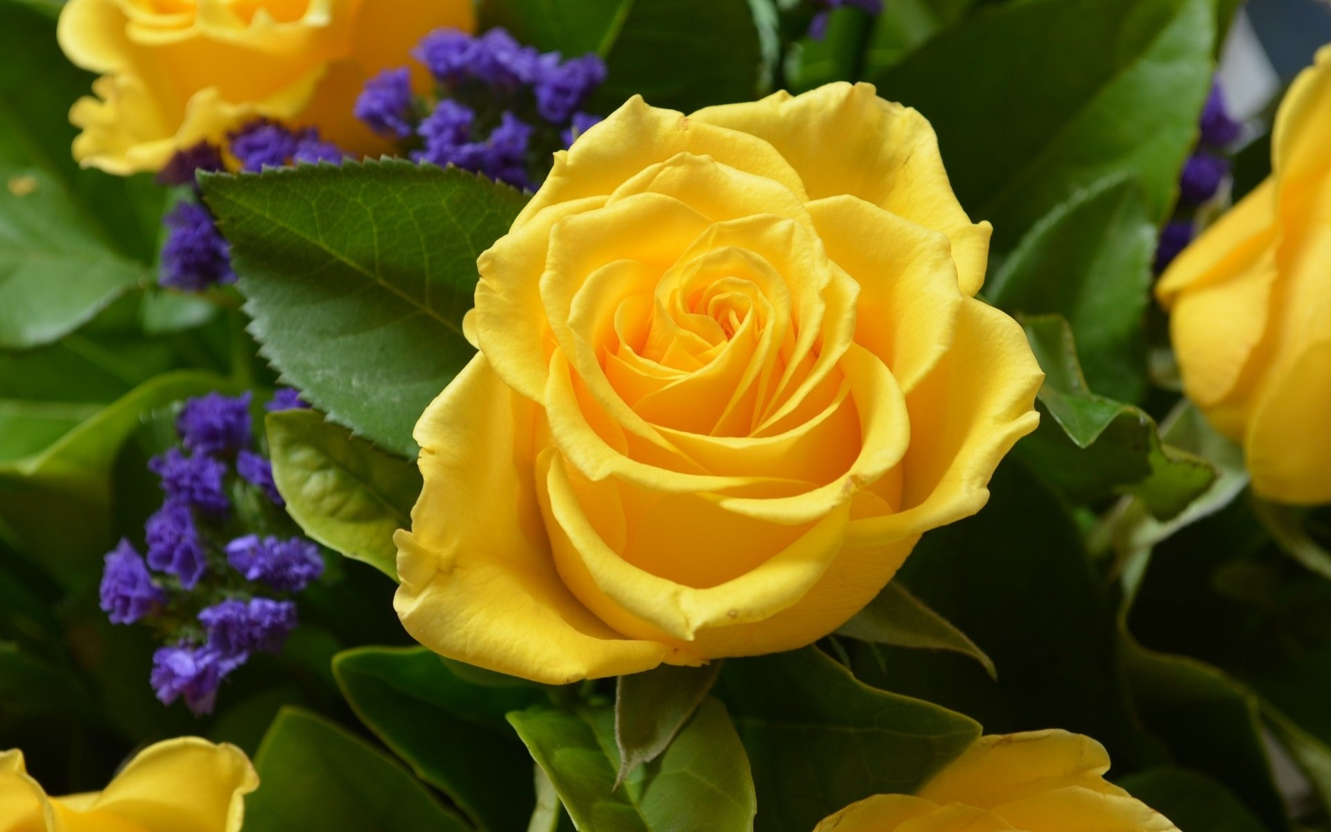Earth - Rose  Flower Spring Yellow Flower Nature Yellow Rose Yellow Wallpaper