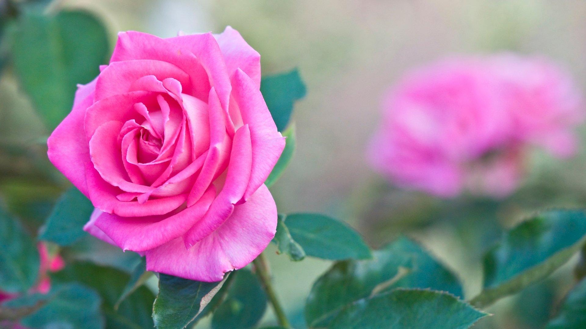 Earth - Rose  Flower Nature Pink Flower Spring Pink Rose Wallpaper