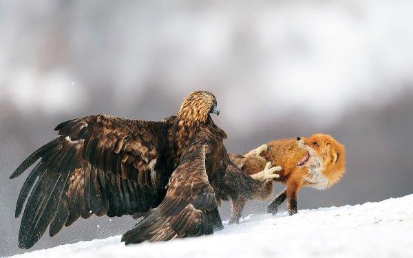Animal Golden Eagle Birds Eagles Eagle Death Fight Snow Winter Fox HD Wallpaper | Background Image