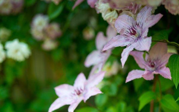 Earth Clematis Flowers Flower Buttercup Macro Bokeh HD Wallpaper | Background Image