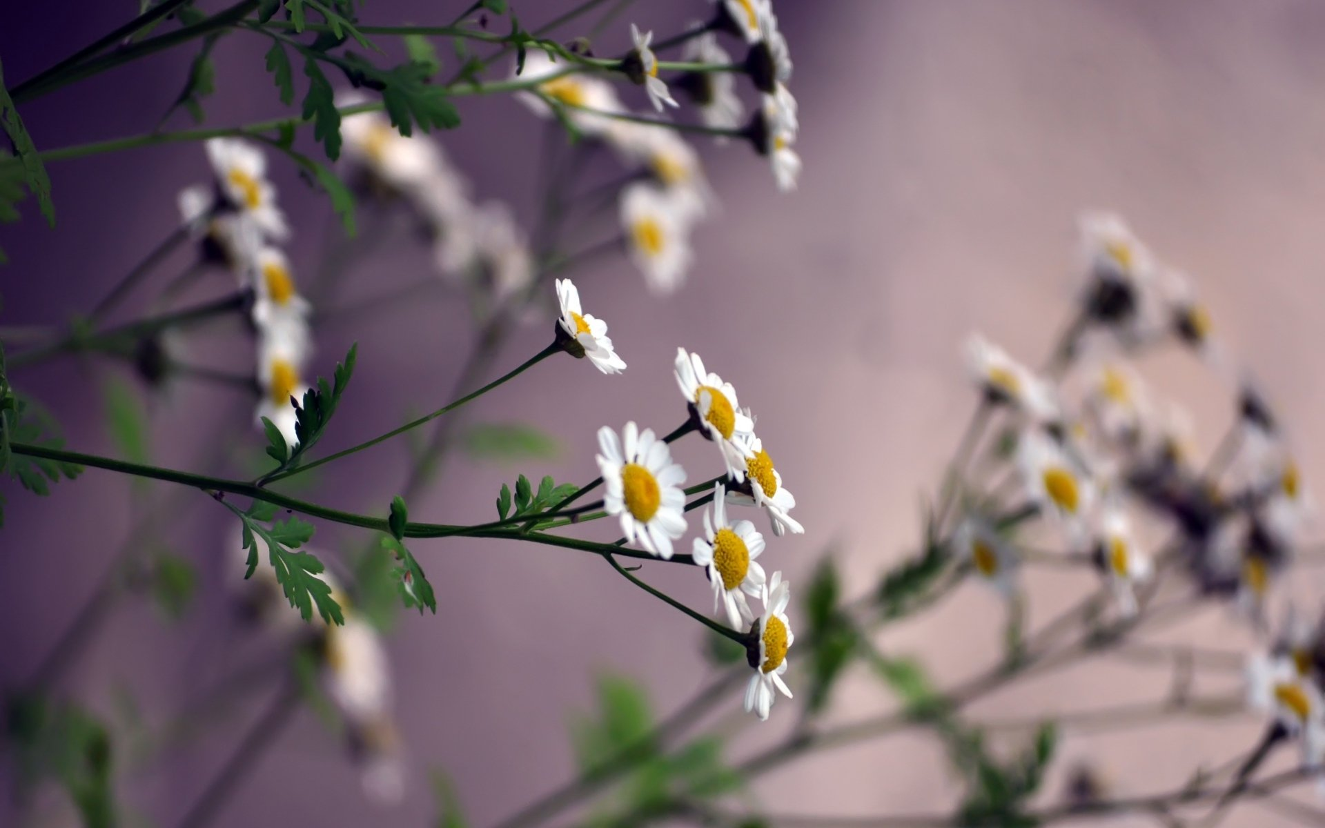 Earth - Flower  Blur White Flower Nature Wallpaper