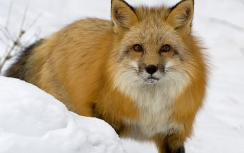 Animal - Fox Wallpapers and Backgrounds ID : 59998