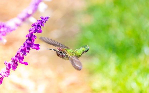 Animal Hummingbird Birds Hummingbirds Flight Flower Bokeh HD Wallpaper | Background Image