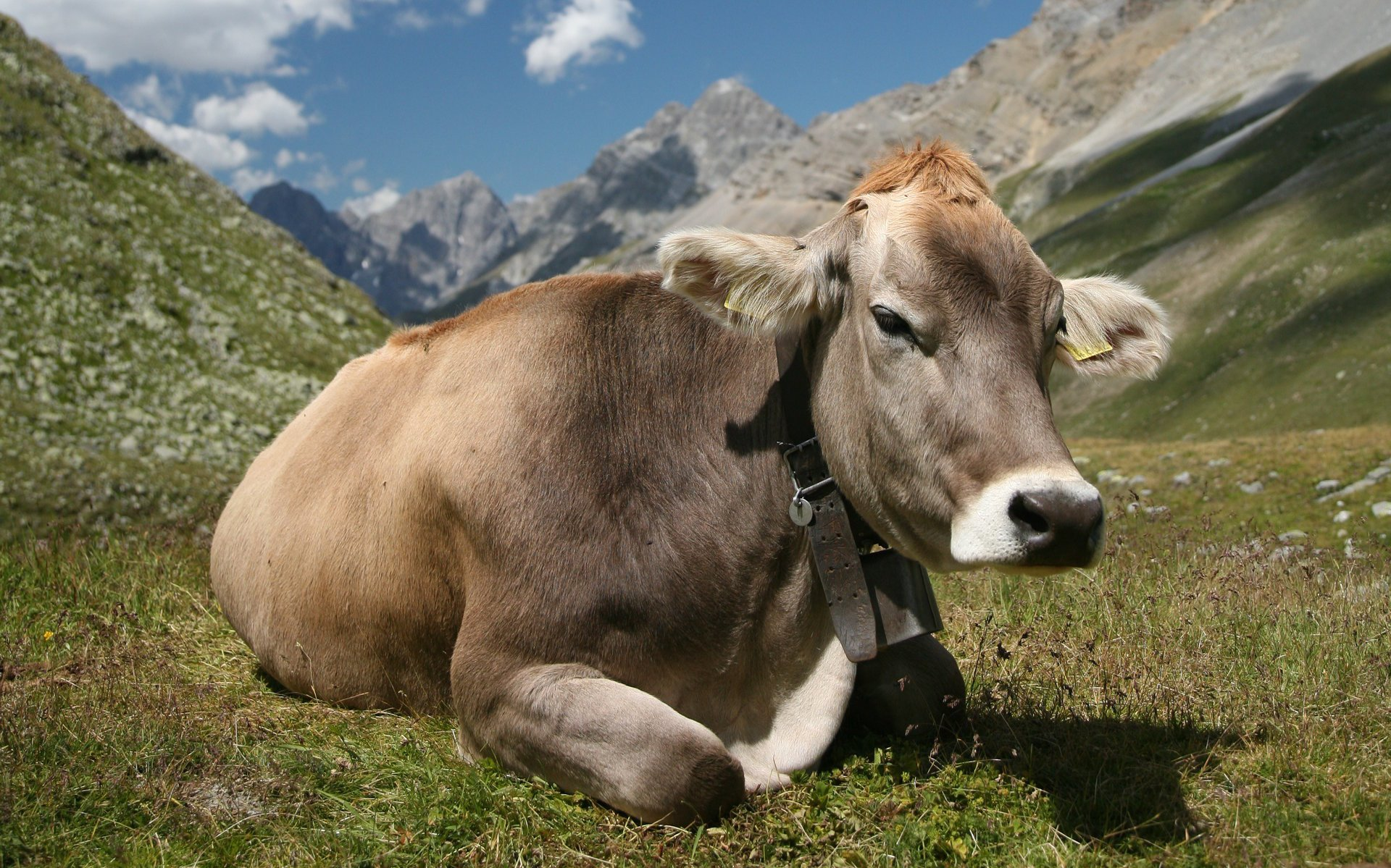 180 Cow HD Wallpapers | Background Images - Wallpaper Abyss