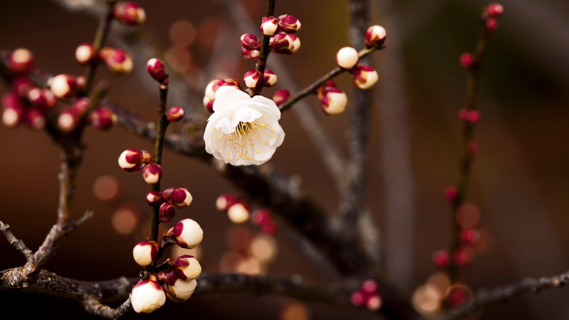 Earth - Blossom  White Flower Flower Spring Nature Branch Wallpaper