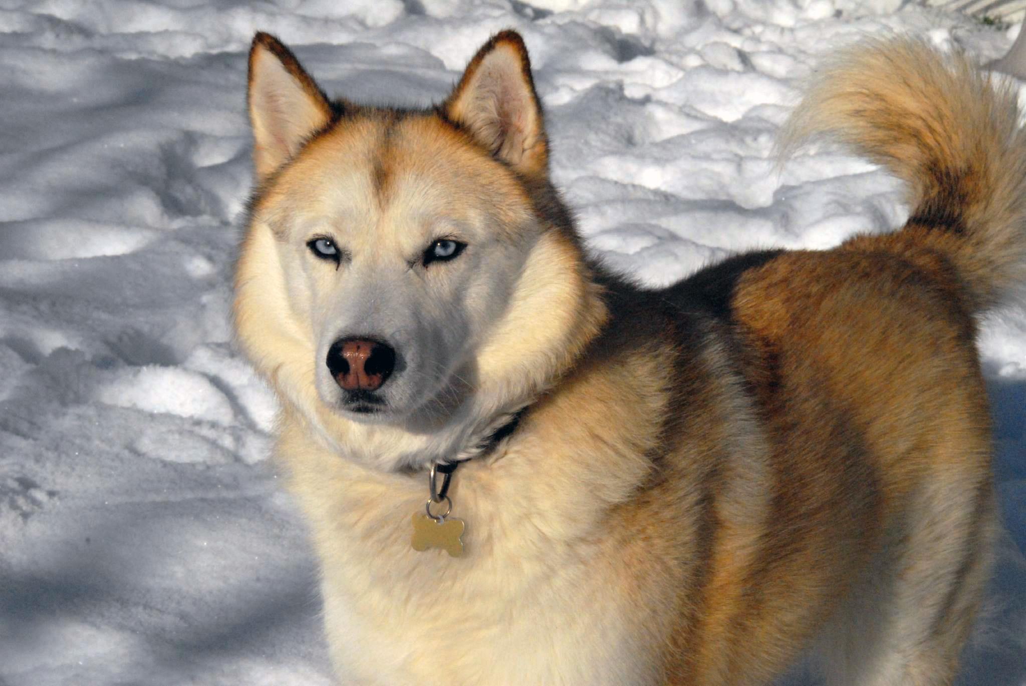 Perros Husky Siberiano Fondos De Pantalla Hd De Animales 2: Siberian Husky Full HD Fondo De Pantalla And Fondo De