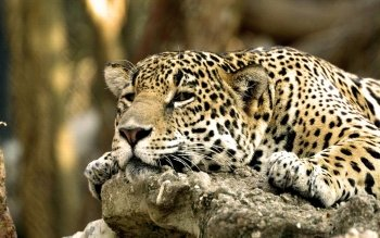 Animal - Leopard Wallpapers and Backgrounds ID : 65028