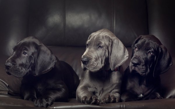 Animal Great Dane Dogs Dog Puppy HD Wallpaper   Background Image