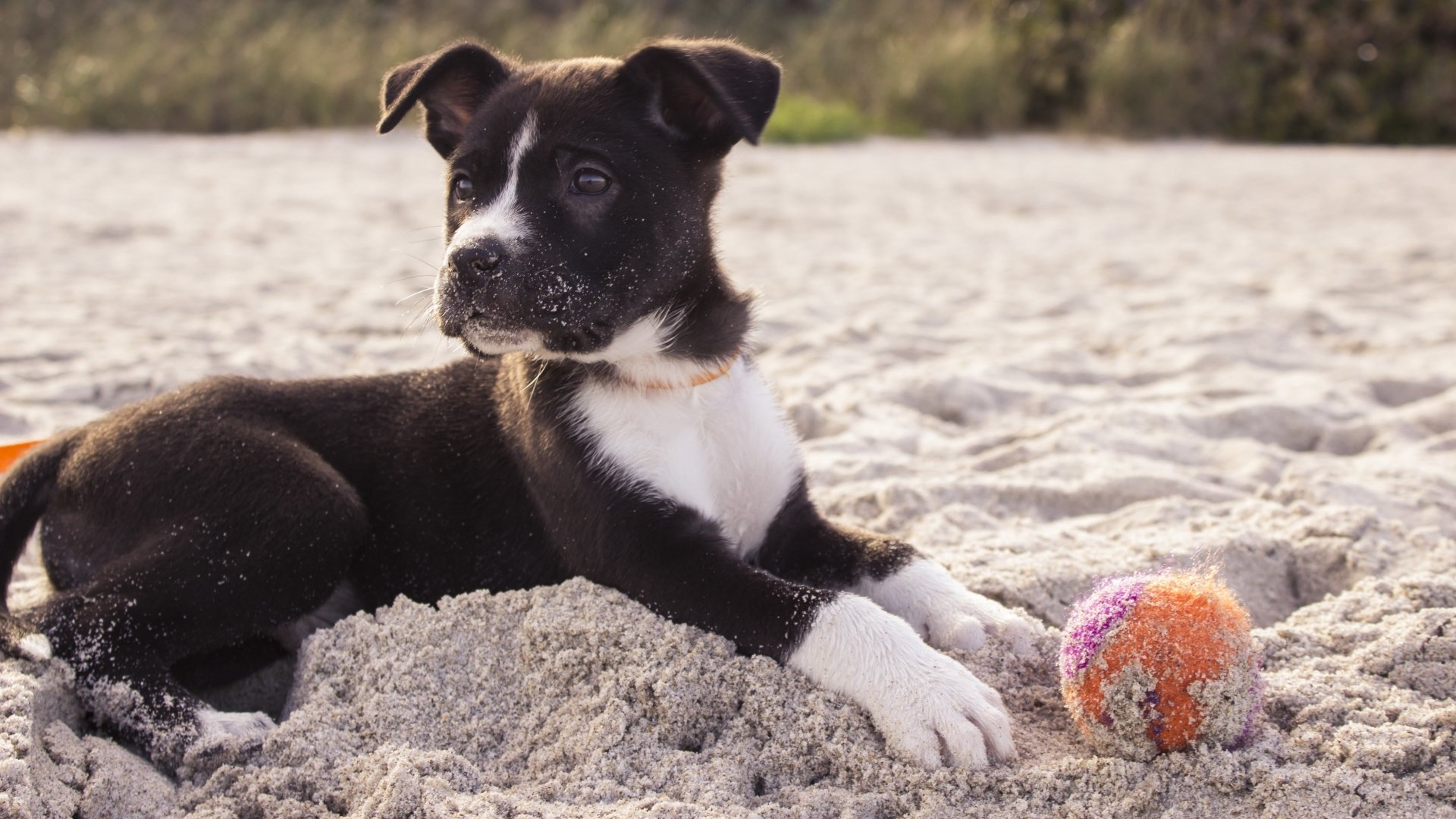 Animal - Puppy  Dog Beach Ball Sand Pet Wallpaper