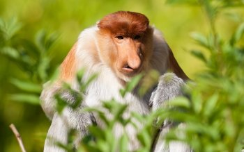 Monkey Wallpaper 5 proboscis monkey hd wallpapers | backgrounds - wallpaper abyss