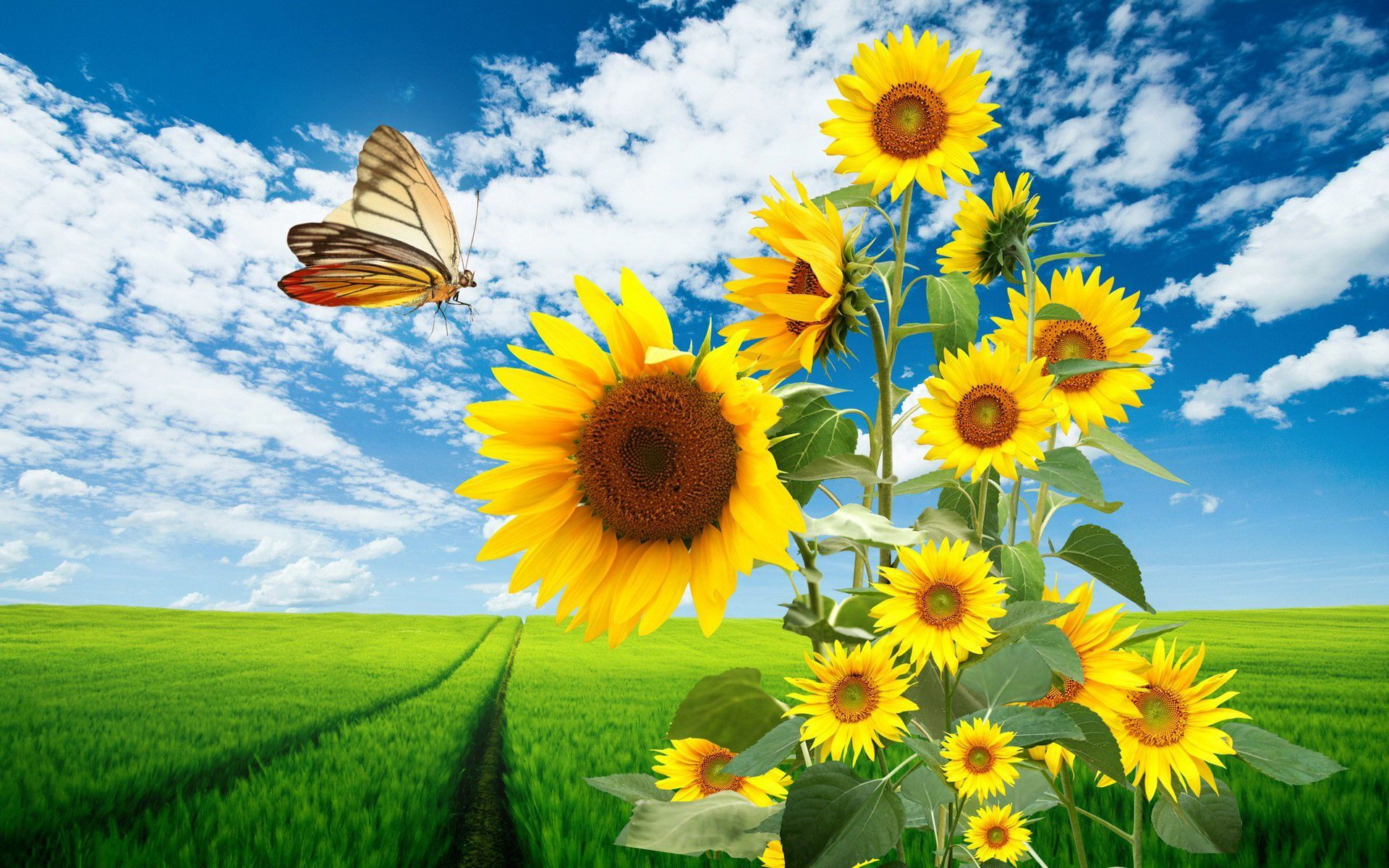 sunflowers and butterfly full hd wallpaper and background