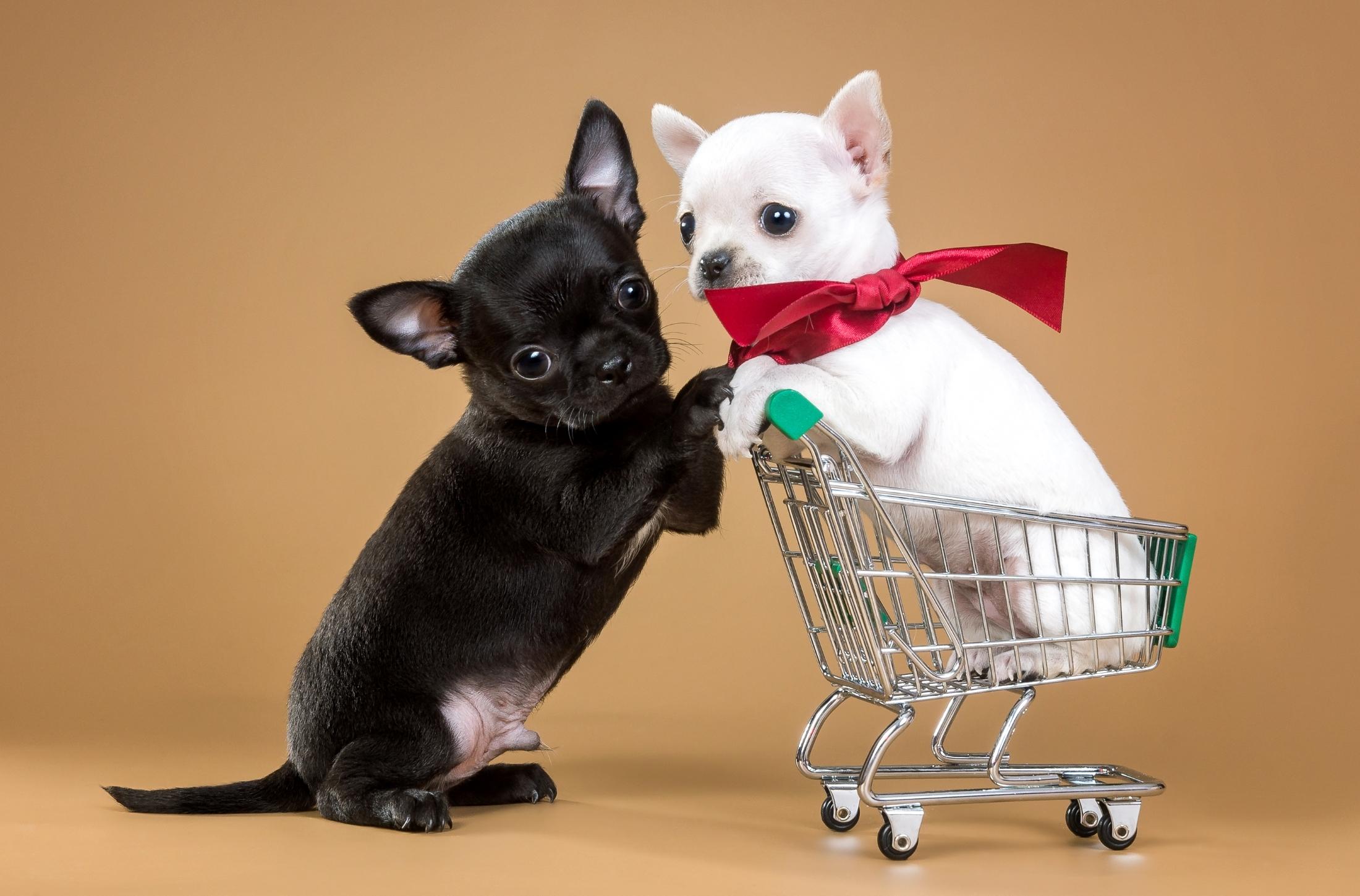 perro chihuahua fondo de - photo #12