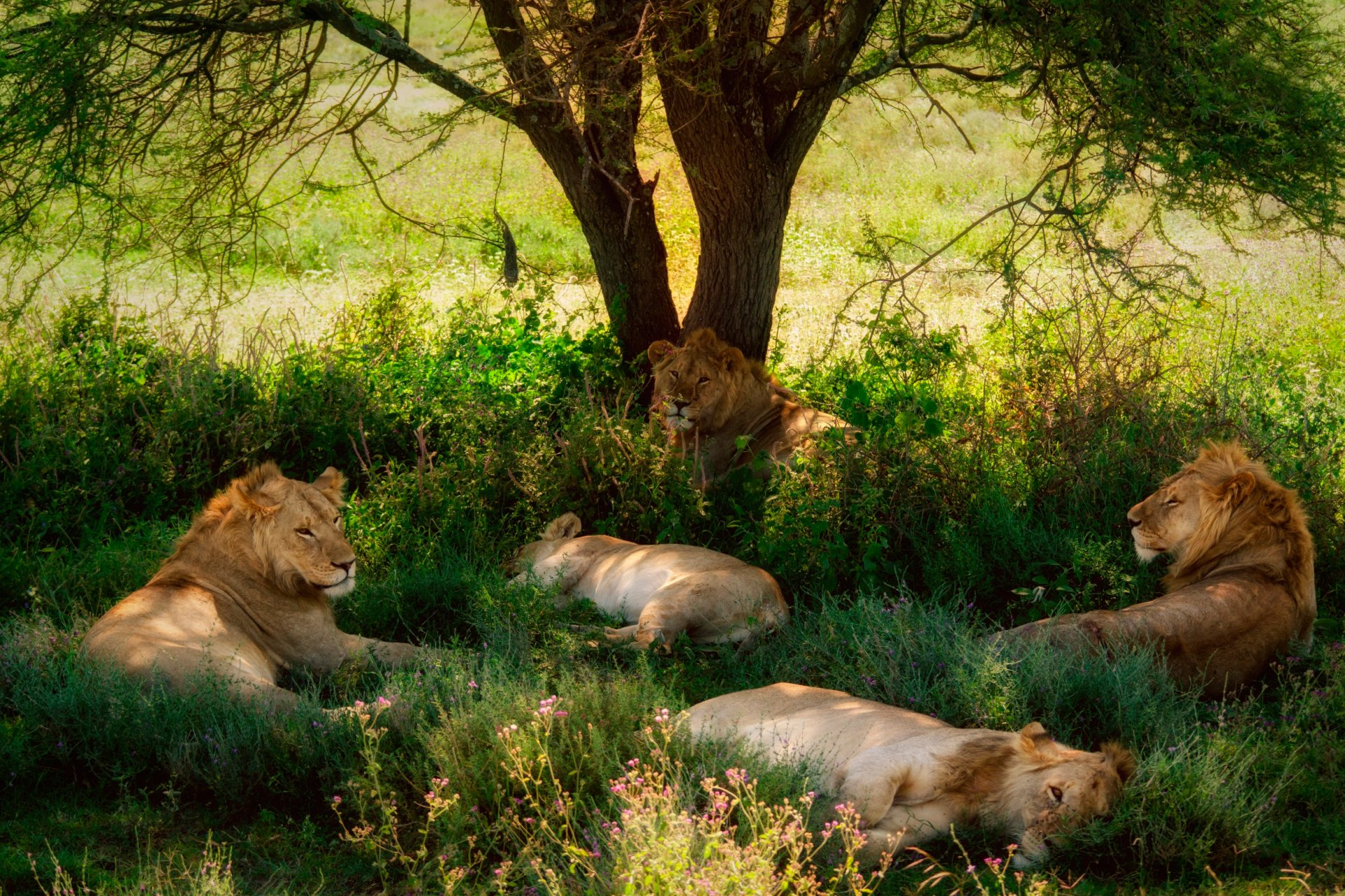 Download Wallpapers Download 2790x2547 Animals Grass: Lions Resting Under Shady Tree Full HD Wallpaper And