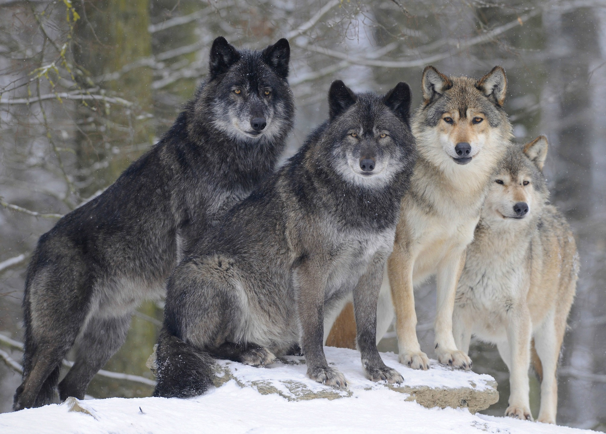 Gray And Black Wolves In Winter Forest Hd Wallpaper