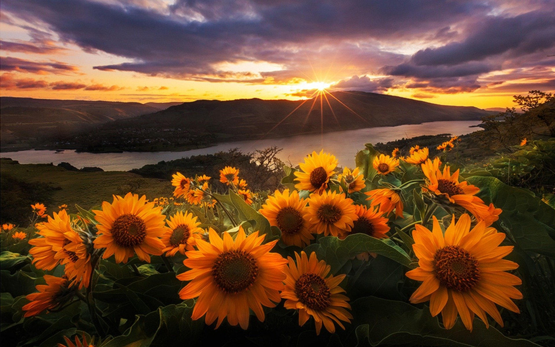 sunflowers at sunrise full hd wallpaper and background
