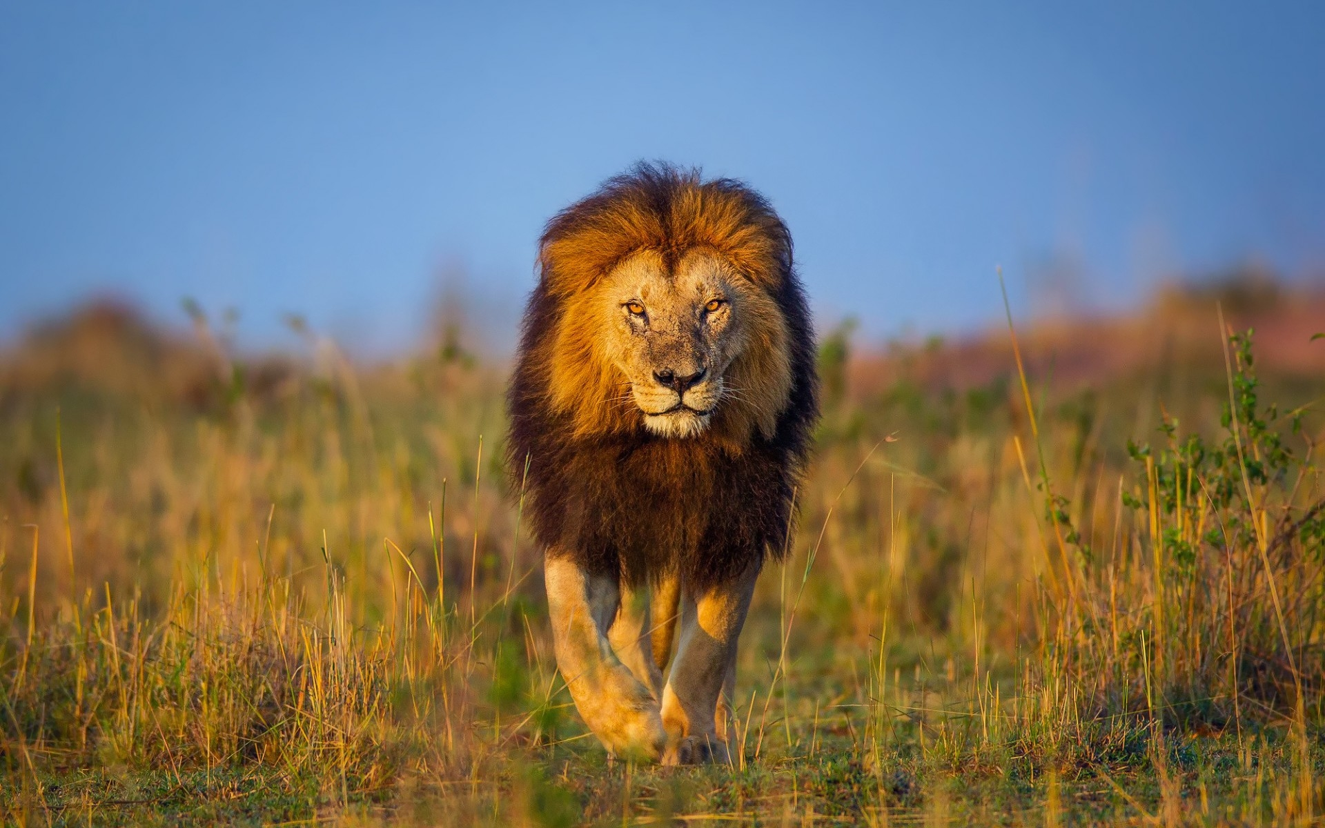 african lion hd wallpaper | background image | 1920x1200 | id:685863