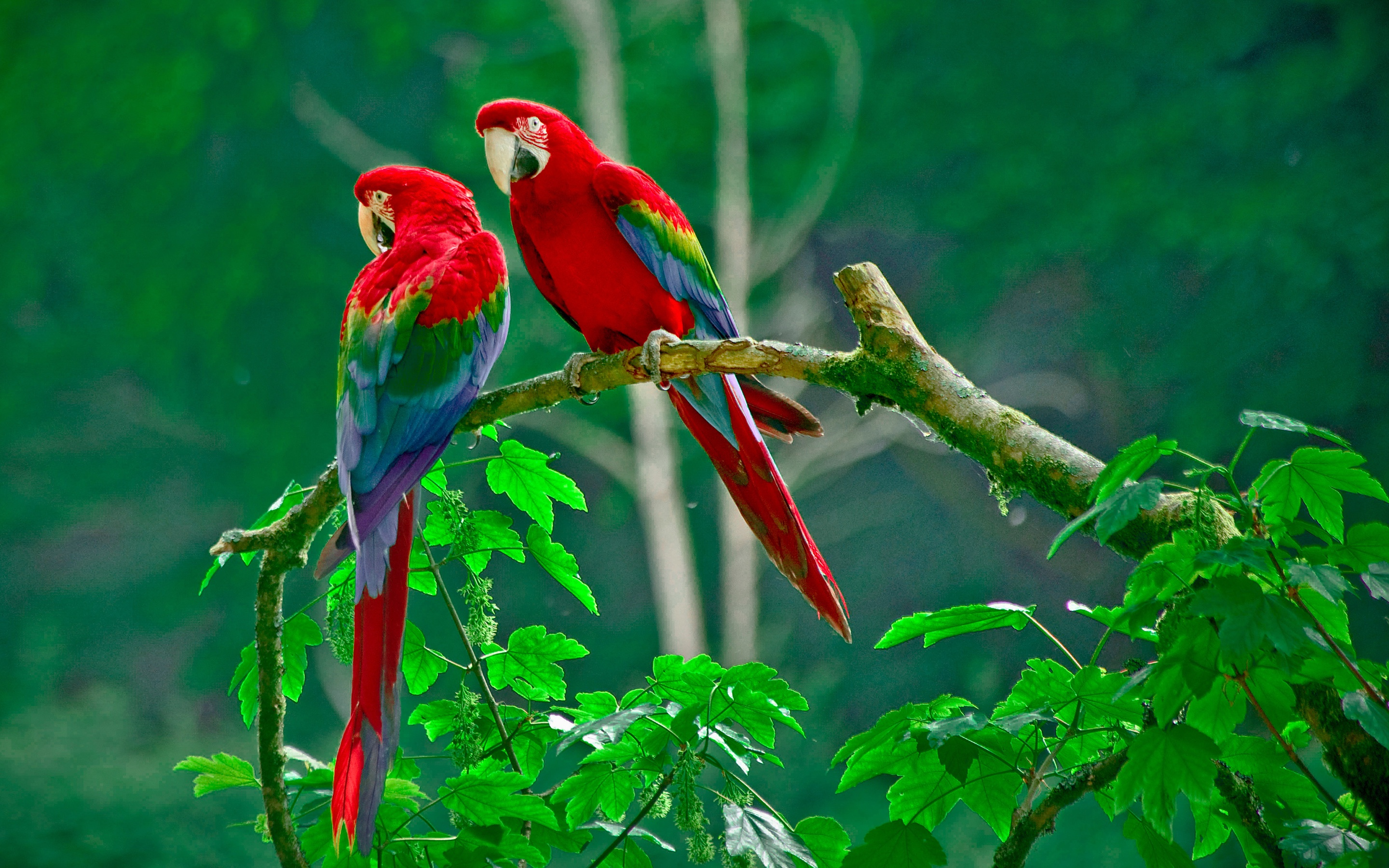 Parrots On Tree Branch In Rainforest Full HD Wallpaper And