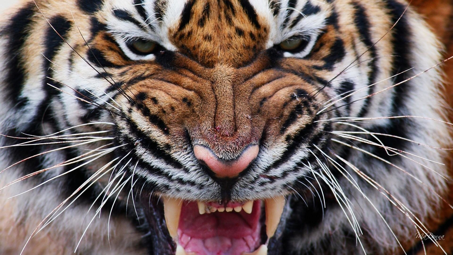 Animal - Tiger  Animal Face Close-up Wallpaper