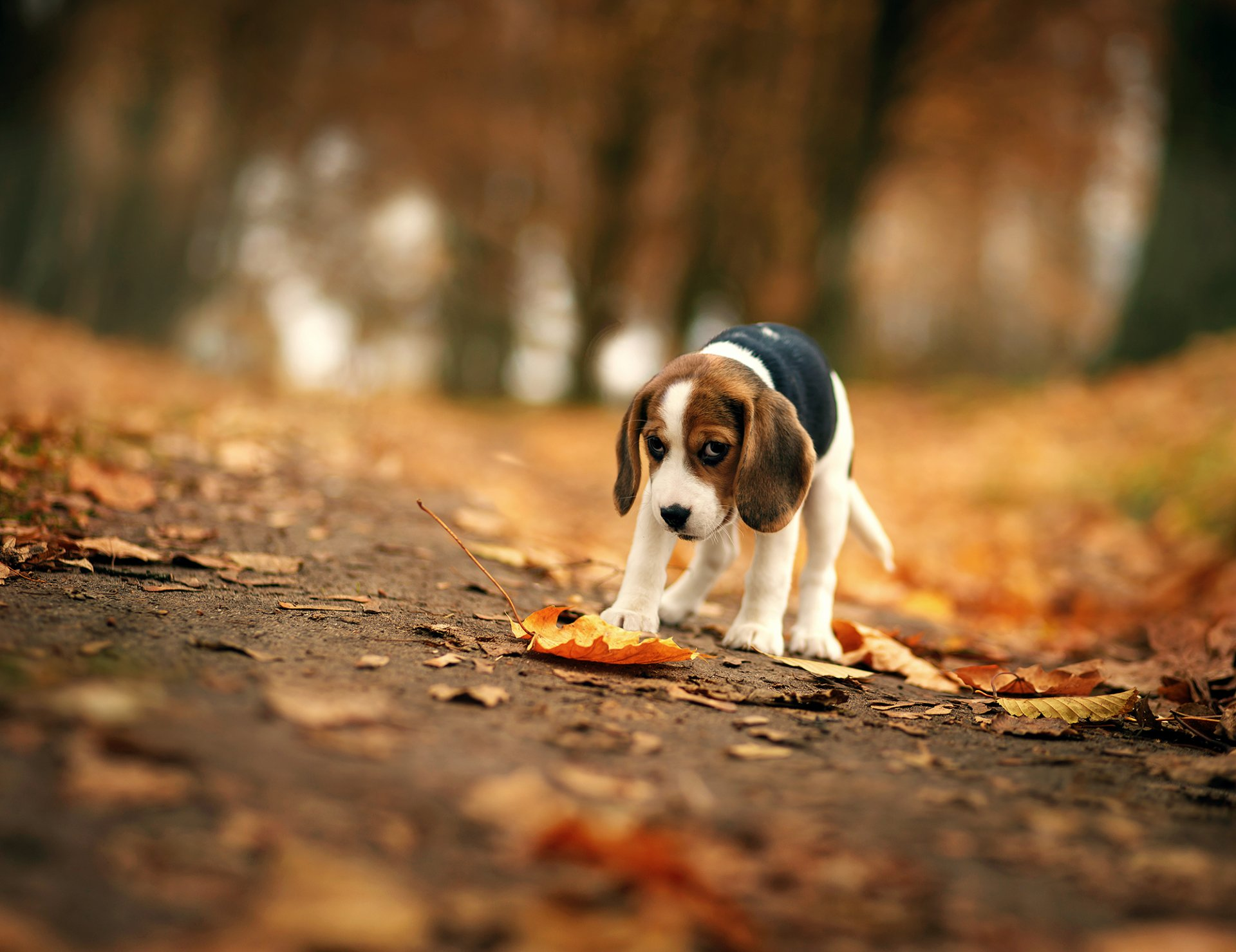 Image Result For Beagle Puppy Wallpaper Hd Wallpaper