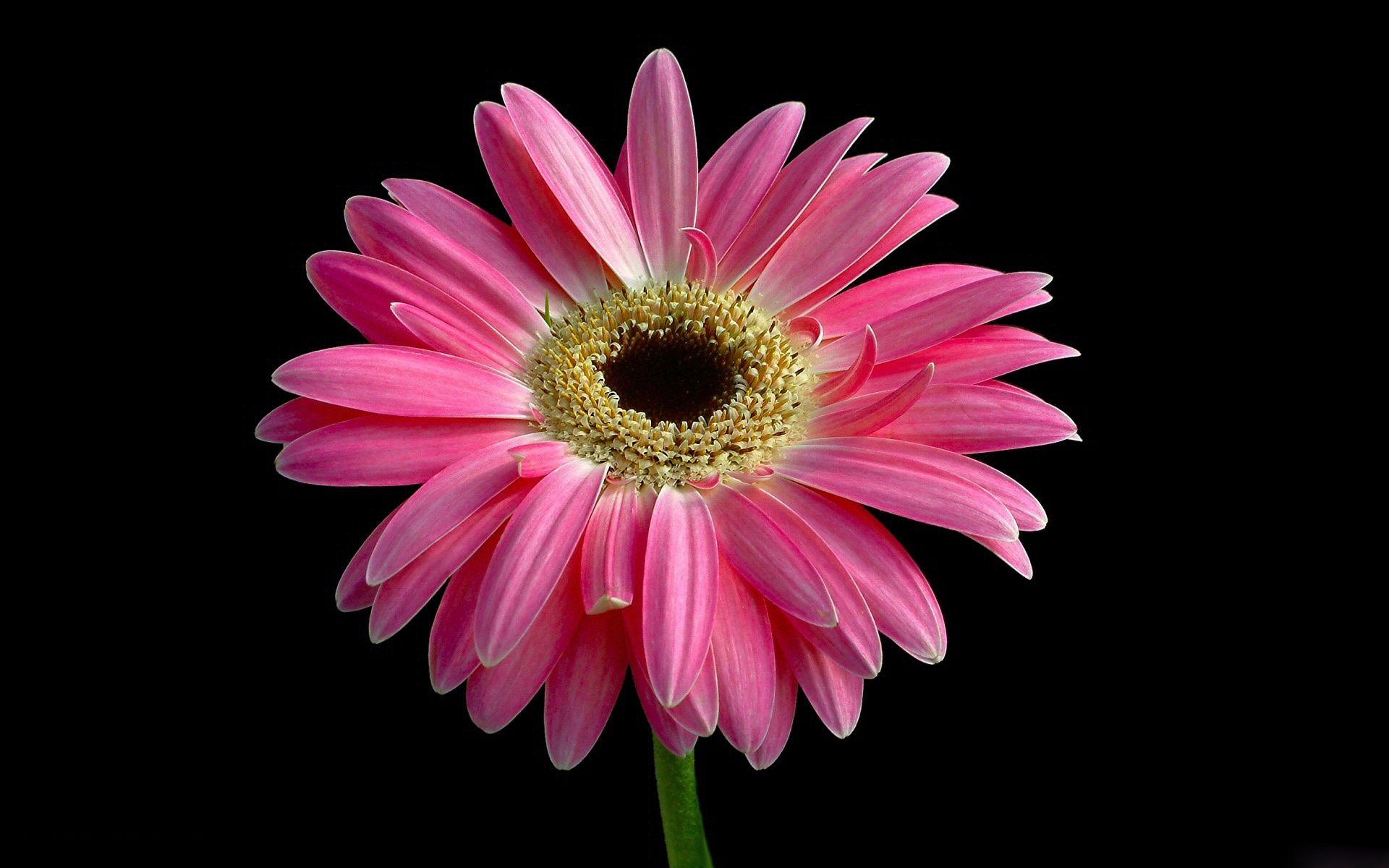 pink gerbera flowers wallpapers - photo #3