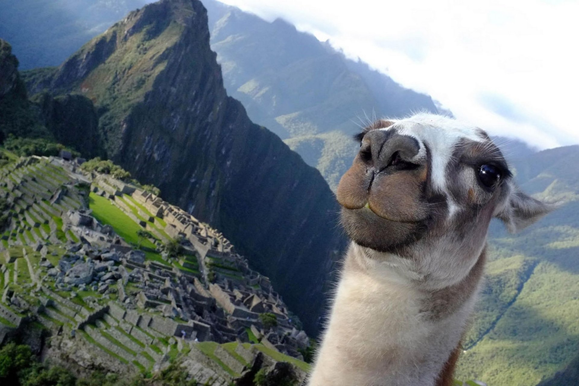 Llama Taking Selfies HD Wallpaper