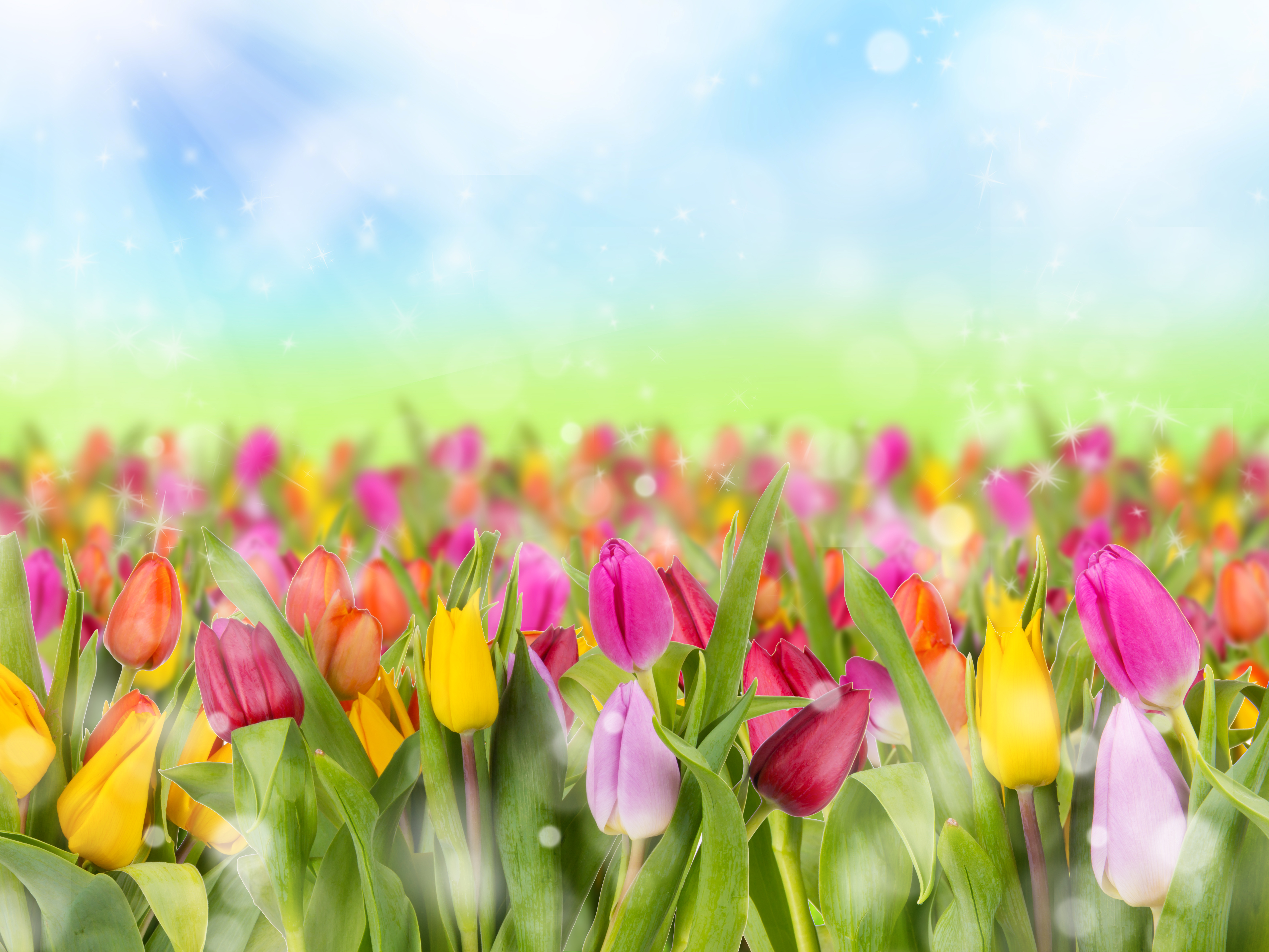 Purple Tulip Close up Wallpapers - Flower Wallpapers Free