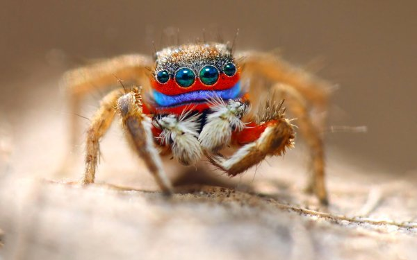 Animal Spider Spiders Macro Eye Jumping Spider HD Wallpaper | Background Image