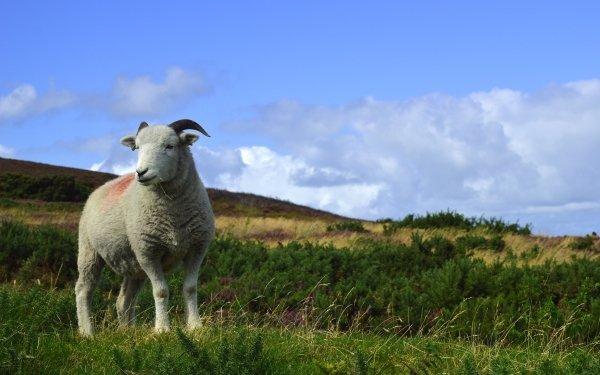 Animal Sheep Landscape HD Wallpaper | Background Image