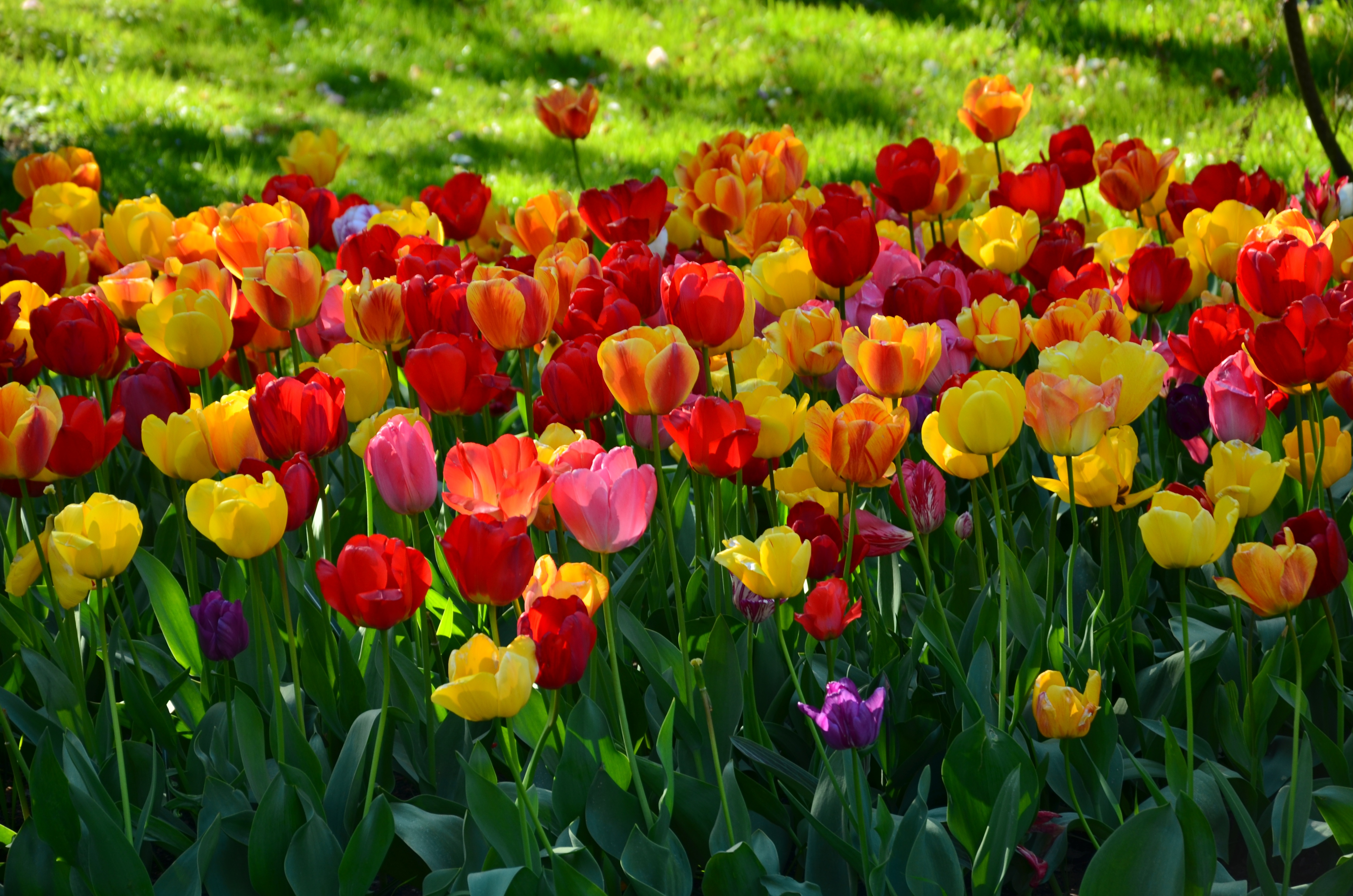 Blooming Tulips In Spring 4k Ultra Hd Wallpaper Background Image 4928x3264