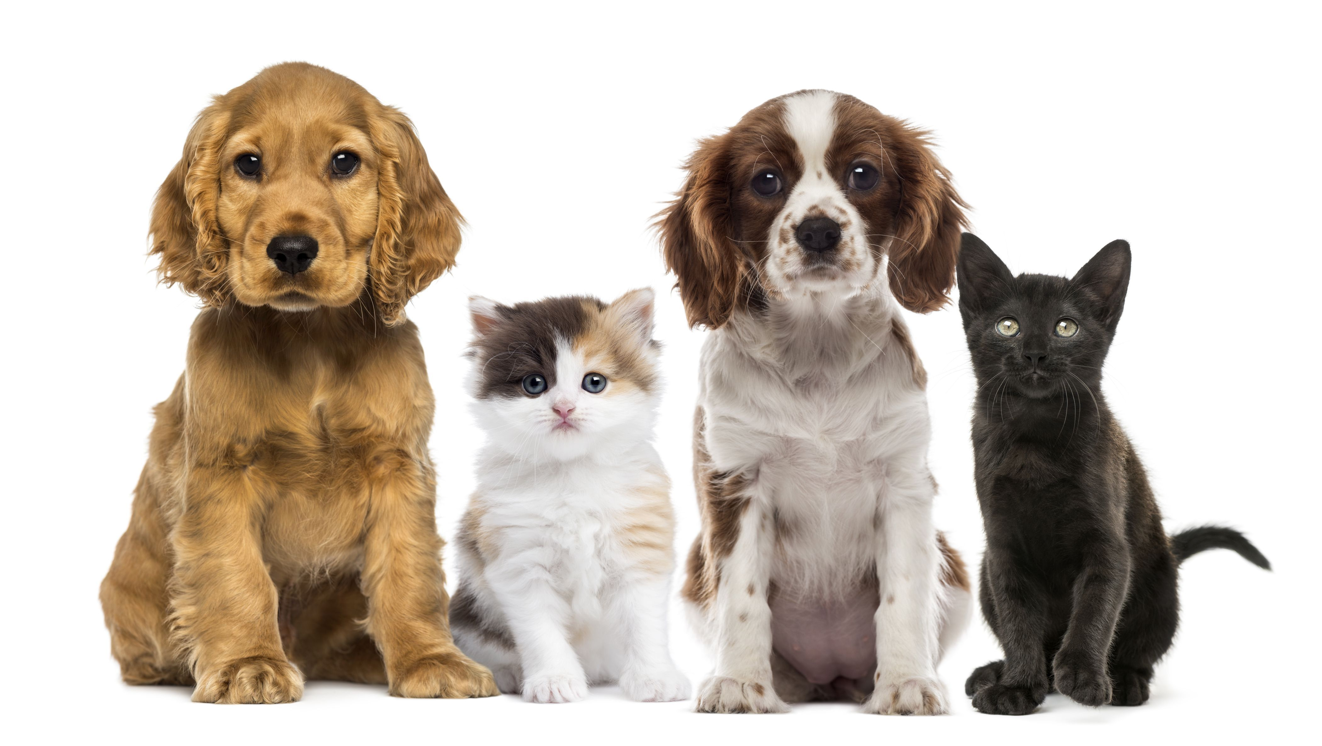 2 Dogs And 2 Cats 4k Ultra Hd Wallpaper Background Image