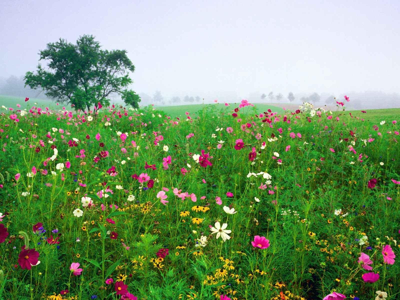 Ziemia/Natura - Wiosna  Ziemia/Natura Pole Kwiat Tapeta