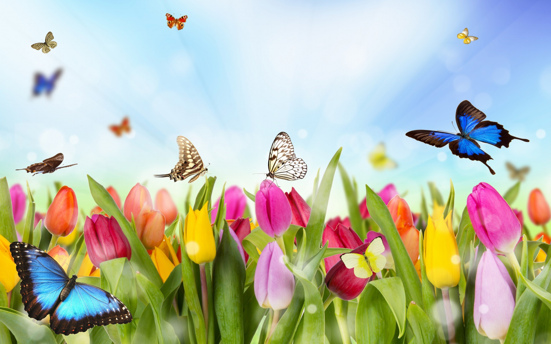 Tulips and butterflies fondo de pantalla hd fondo de for Fondos de escritorio gratis