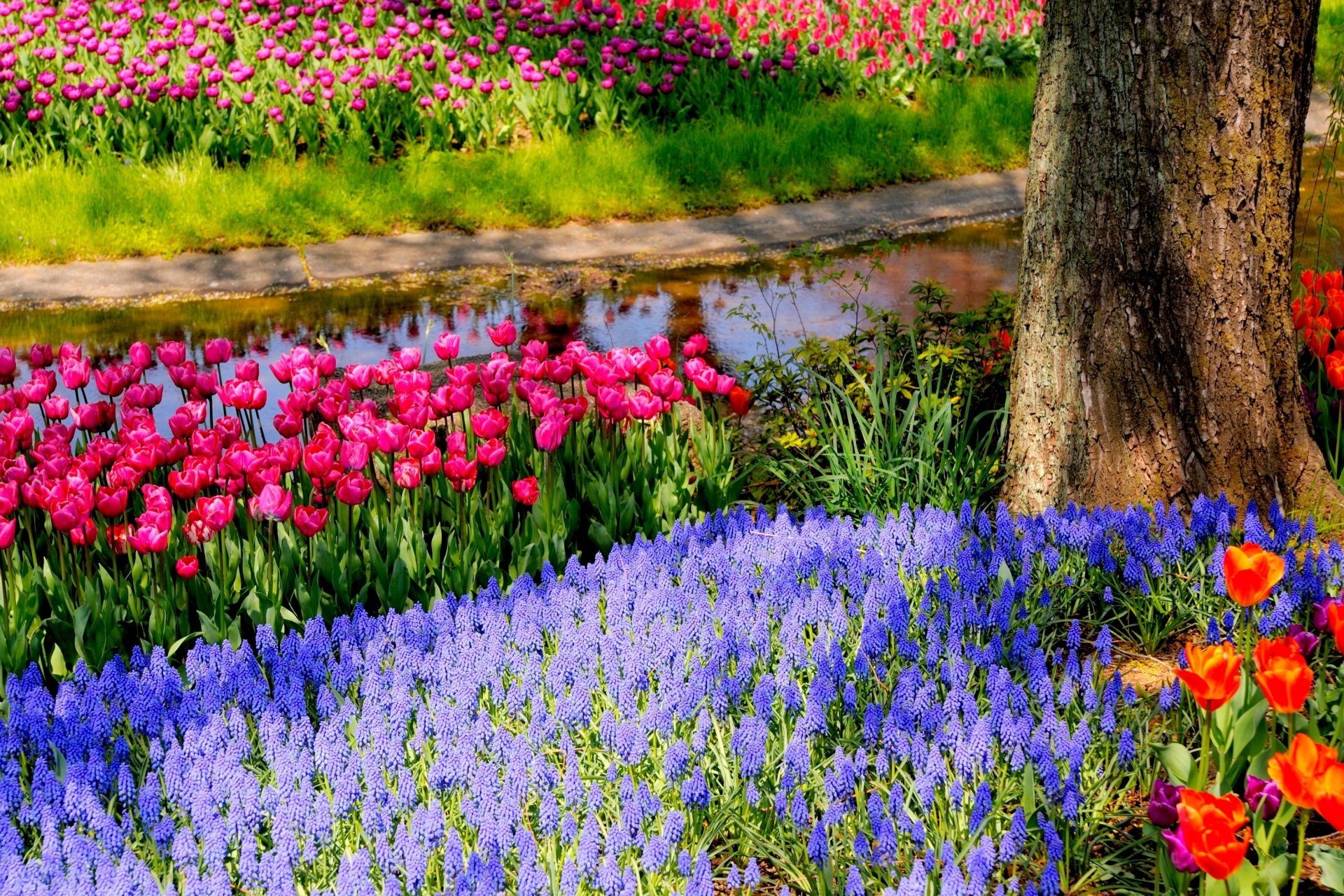 Earth - Spring  Earth Park Tulip Colors Colorful Muscari Wallpaper
